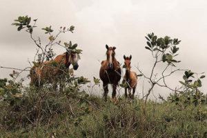 Corumbau Pferde